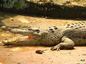 crocodile[1]